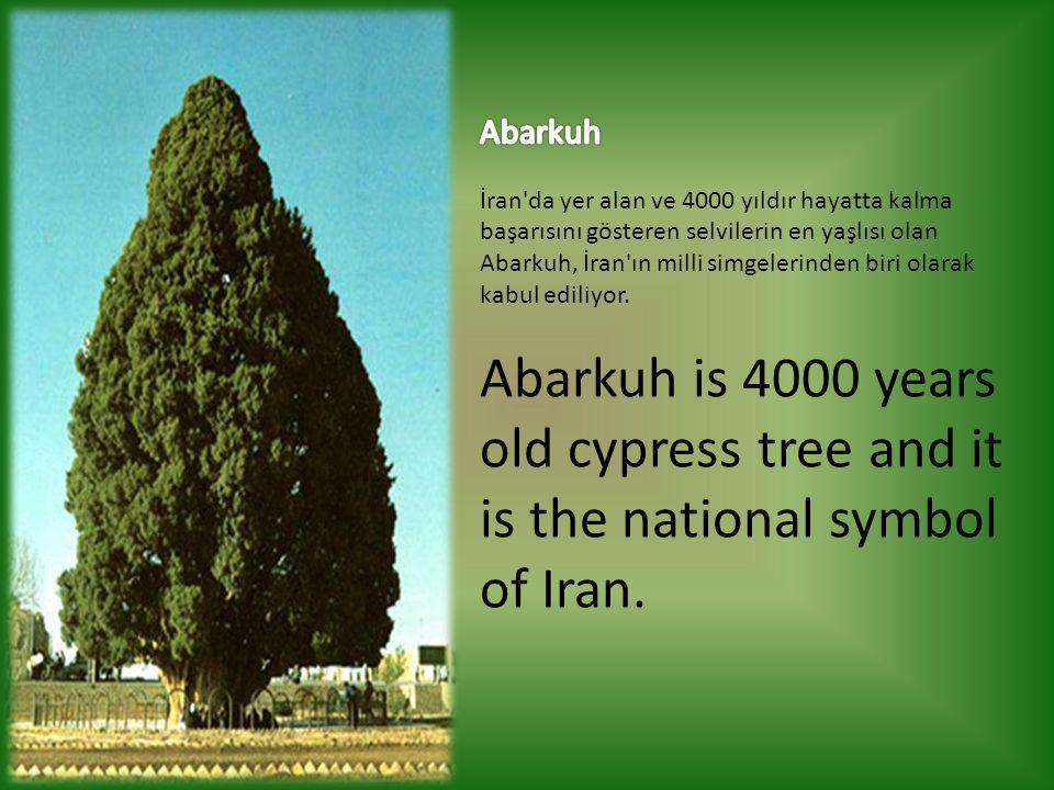 Abarkuh İran da yer alan ve 4000 yıldır hayatta kalma başarısını gösteren selvilerin en yaşlısı olan Abarkuh, İran ın milli simgelerinden biri olarak kabul ediliyor.