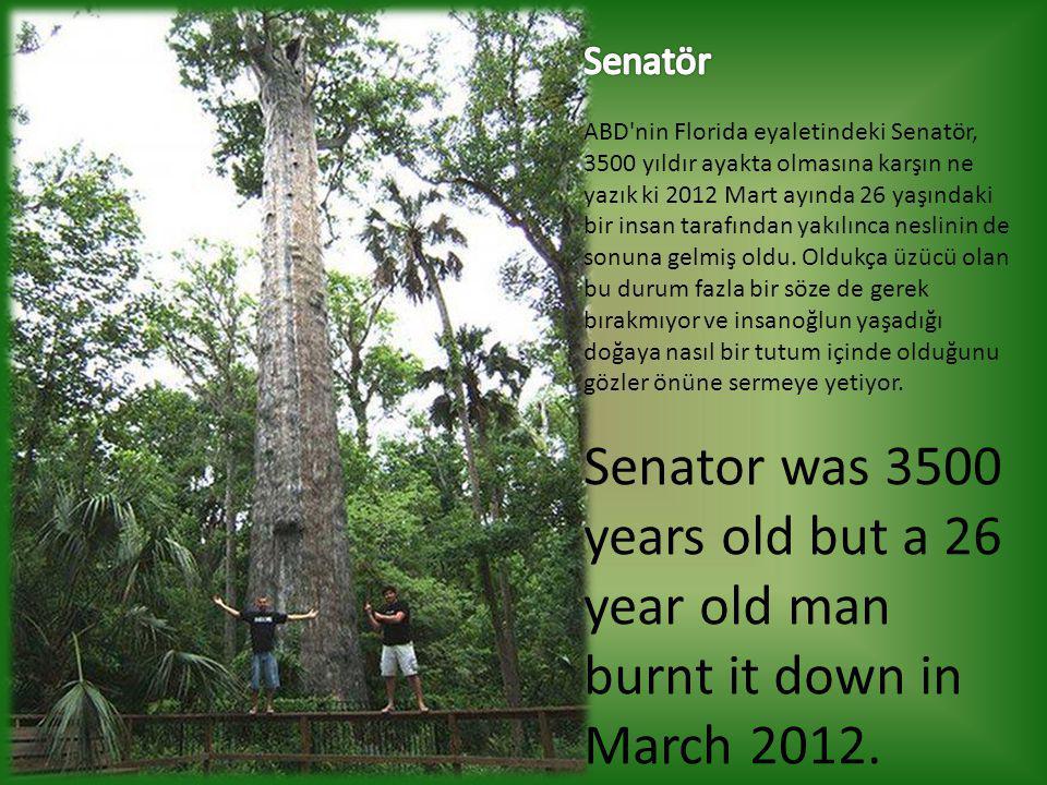 Senatör ABD nin Florida eyaletindeki Senatör, 3500 yıldır ayakta olmasına karşın ne yazık ki 2012 Mart ayında 26 yaşındaki bir insan tarafından yakılınca neslinin de sonuna gelmiş oldu. Oldukça üzücü olan bu durum fazla bir söze de gerek bırakmıyor ve insanoğlun yaşadığı doğaya nasıl bir tutum içinde olduğunu gözler önüne sermeye yetiyor.