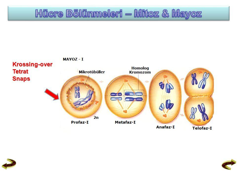 Hücre Bölünmeleri – Mitoz & Mayoz