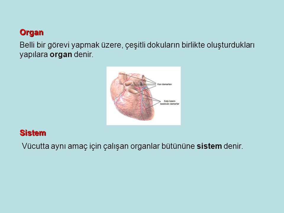 Organ Belli bir görevi yapmak üzere, çeşitli dokuların birlikte oluşturdukları. yapılara organ denir.