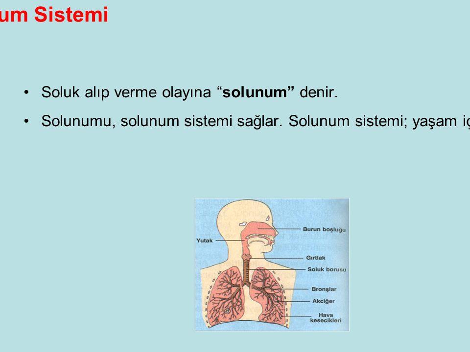 Solunum Sistemi Soluk alıp verme olayına solunum denir.