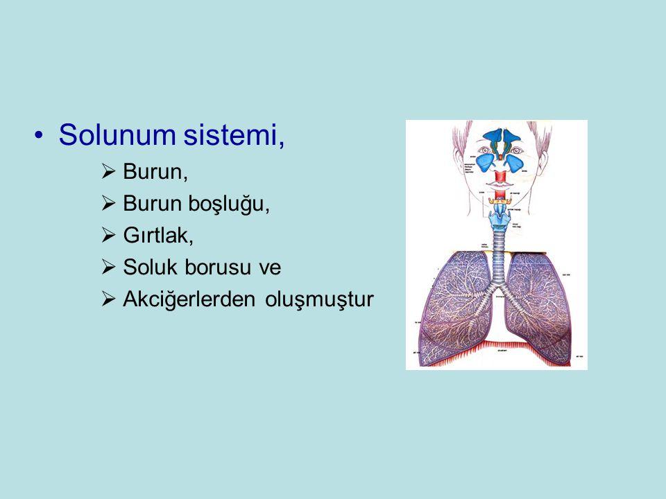 Solunum sistemi, Burun, Burun boşluğu, Gırtlak, Soluk borusu ve