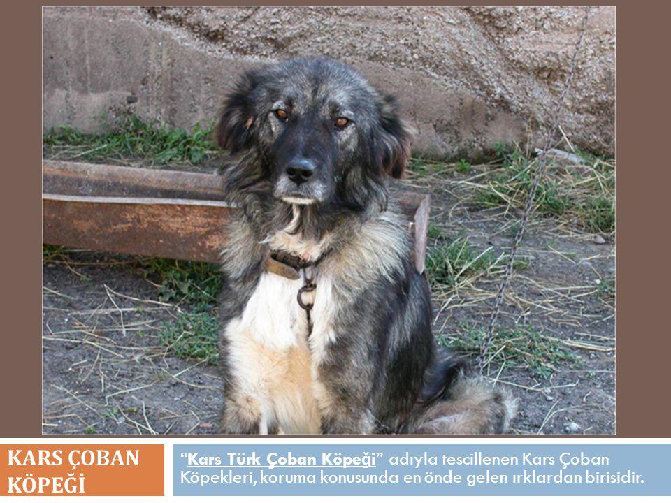 KARS ÇOBAN KÖPEĞİ Kars Türk Çoban Köpeği adıyla tescillenen Kars Çoban Köpekleri, koruma konusunda en önde gelen ırklardan birisidir.