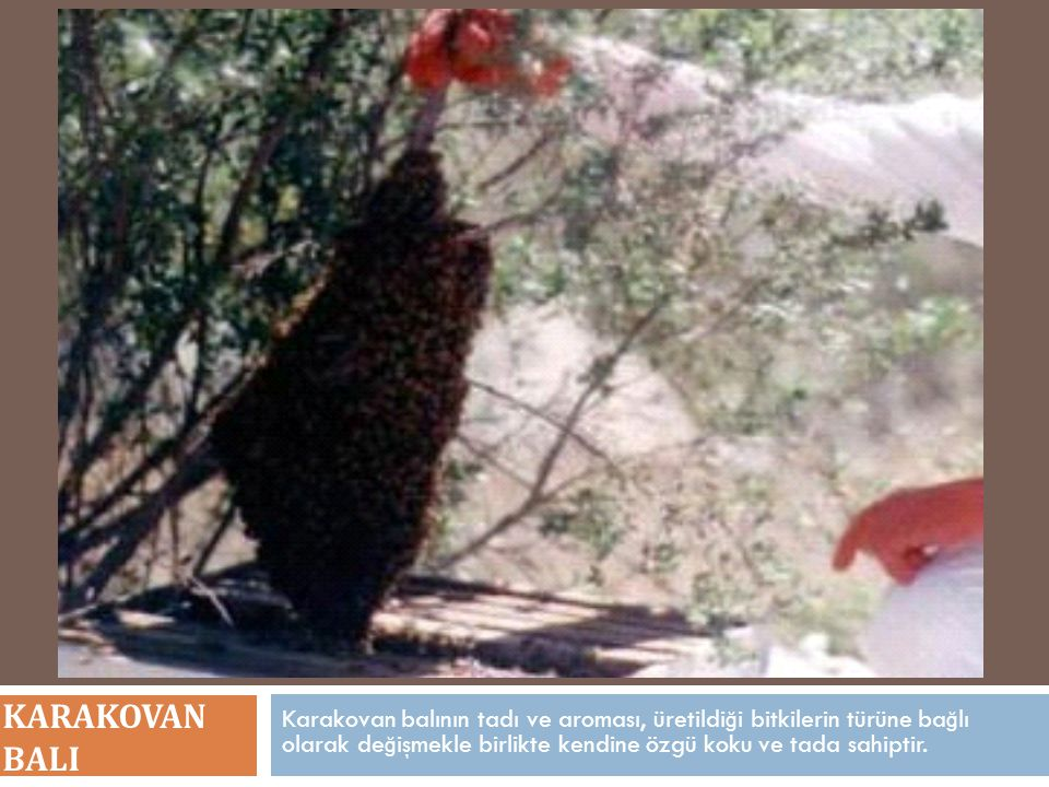 KARAKOVAN BALI Karakovan balının tadı ve aroması, üretildiği bitkilerin türüne bağlı olarak değişmekle birlikte kendine özgü koku ve tada sahiptir.
