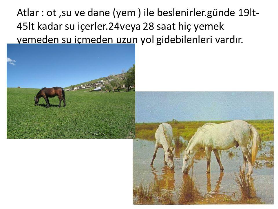 Atlar : ot ,su ve dane (yem ) ile beslenirler