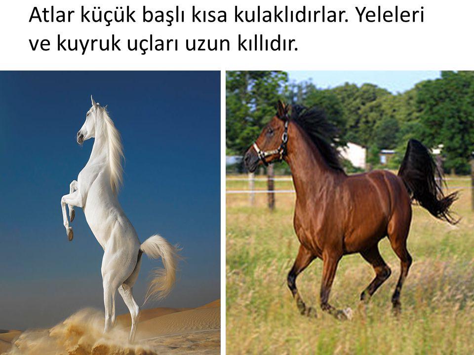 Atlar küçük başlı kısa kulaklıdırlar