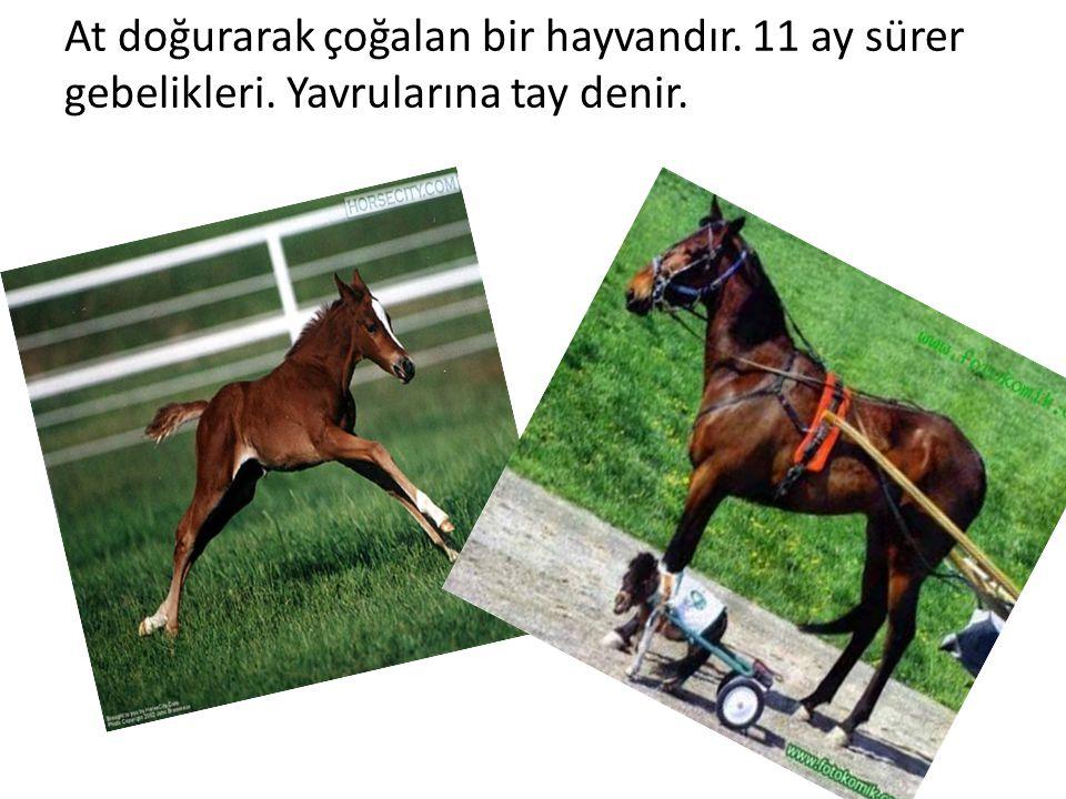 At doğurarak çoğalan bir hayvandır. 11 ay sürer gebelikleri