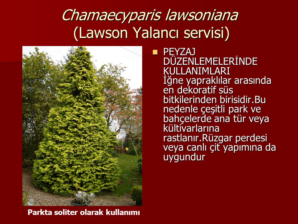 Chamaecyparis lawsoniana (Lawson Yalancı servisi)