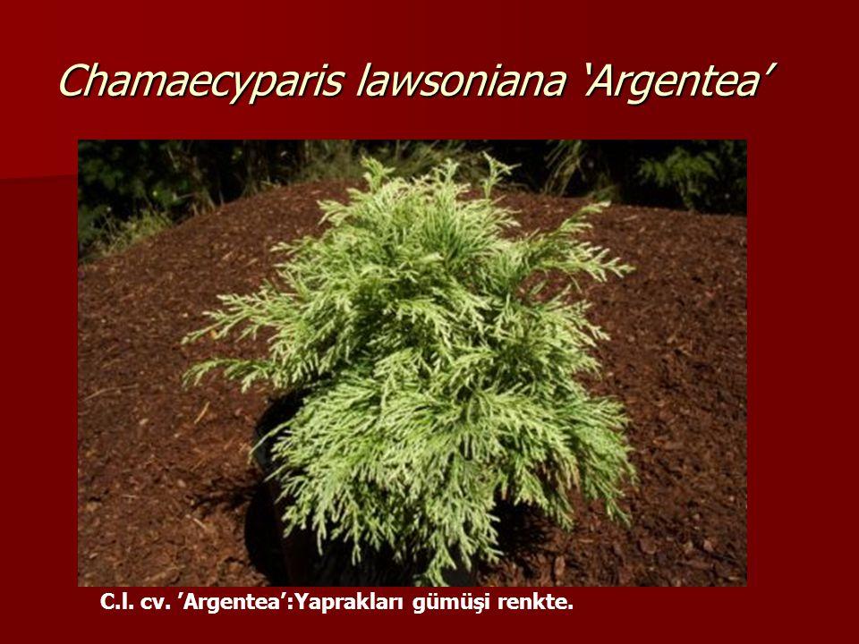 Chamaecyparis lawsoniana 'Argentea'