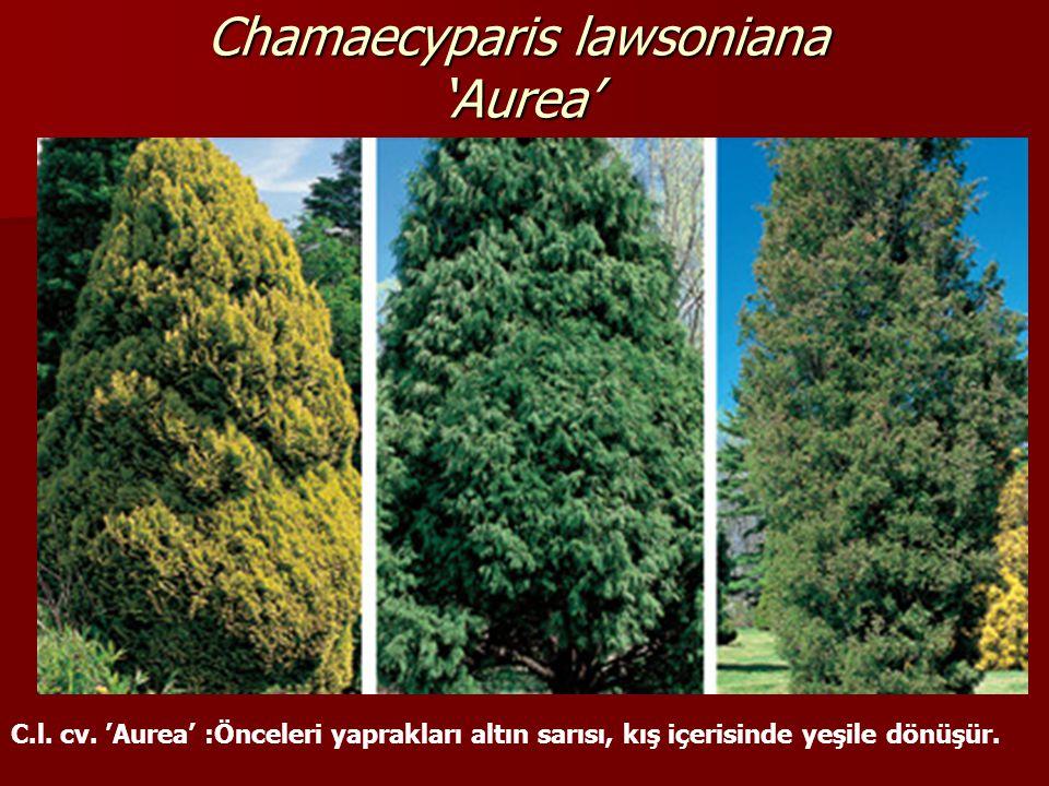 Chamaecyparis lawsoniana 'Aurea'