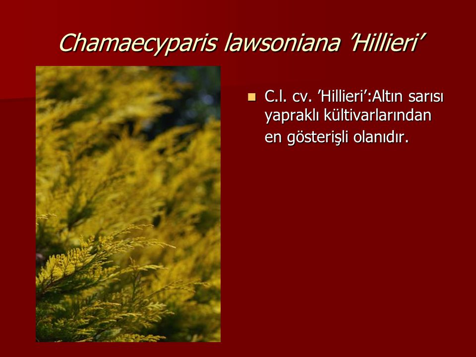 Chamaecyparis lawsoniana 'Hillieri'