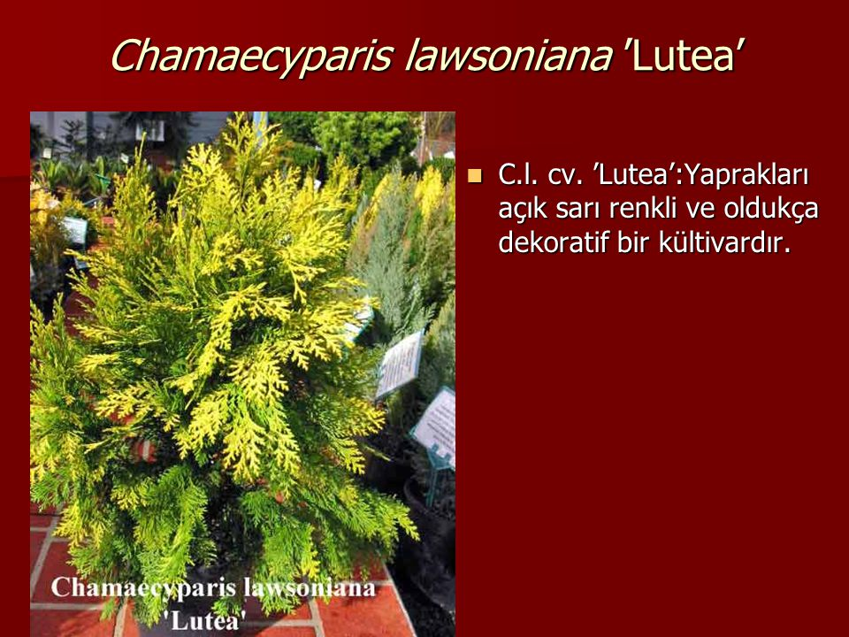 Chamaecyparis lawsoniana 'Lutea'