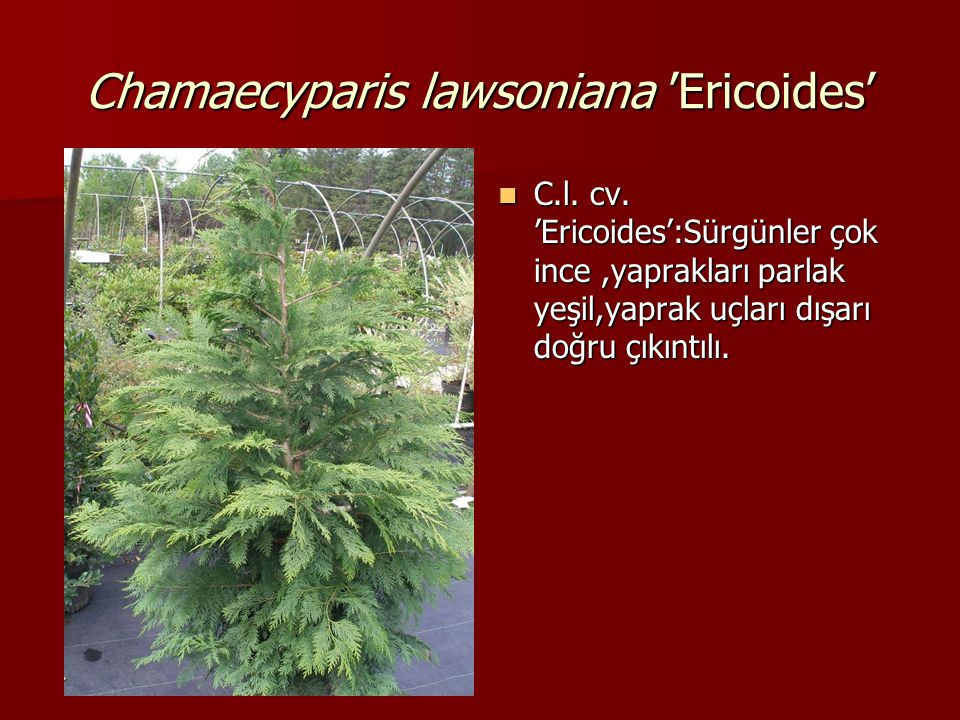 Chamaecyparis lawsoniana 'Ericoides'