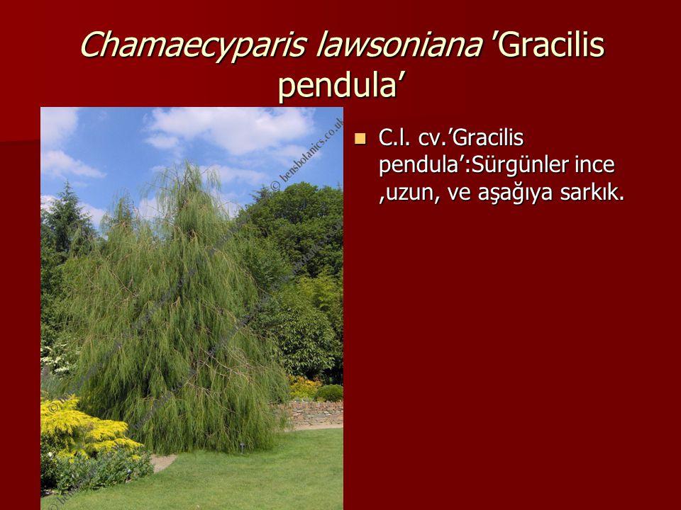 Chamaecyparis lawsoniana 'Gracilis pendula'