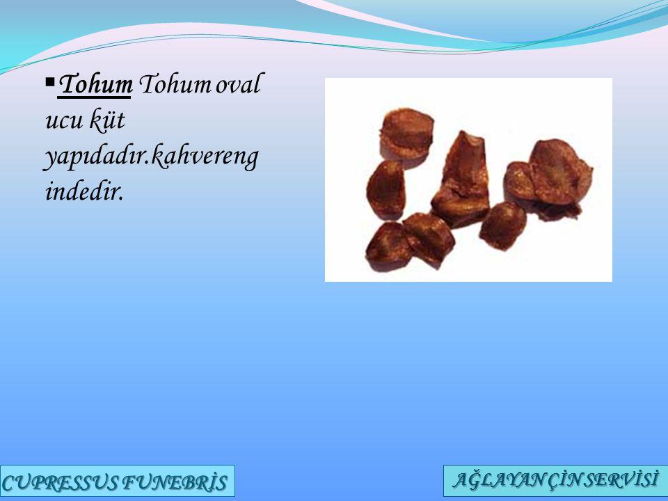 Tohum Tohum oval ucu küt yapıdadır.kahverengindedir.