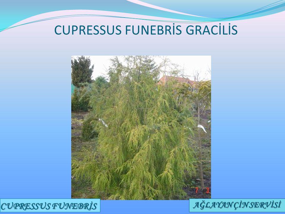 CUPRESSUS FUNEBRİS GRACİLİS