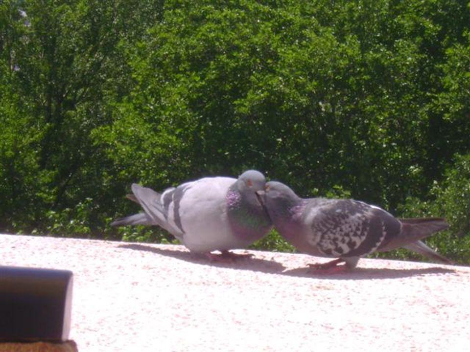 Ve bu arada duvar kenarına konan bir çift güvercinin birbirine olan inanılmaz aşkına tanık oldum 