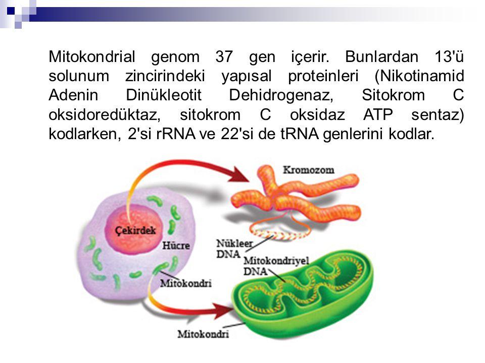 Mitokondrial genom 37 gen içerir