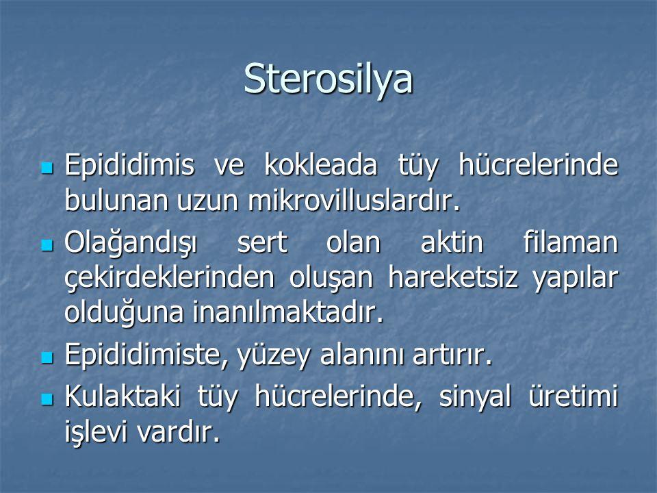 Sterosilya Epididimis ve kokleada tüy hücrelerinde bulunan uzun mikrovilluslardır.