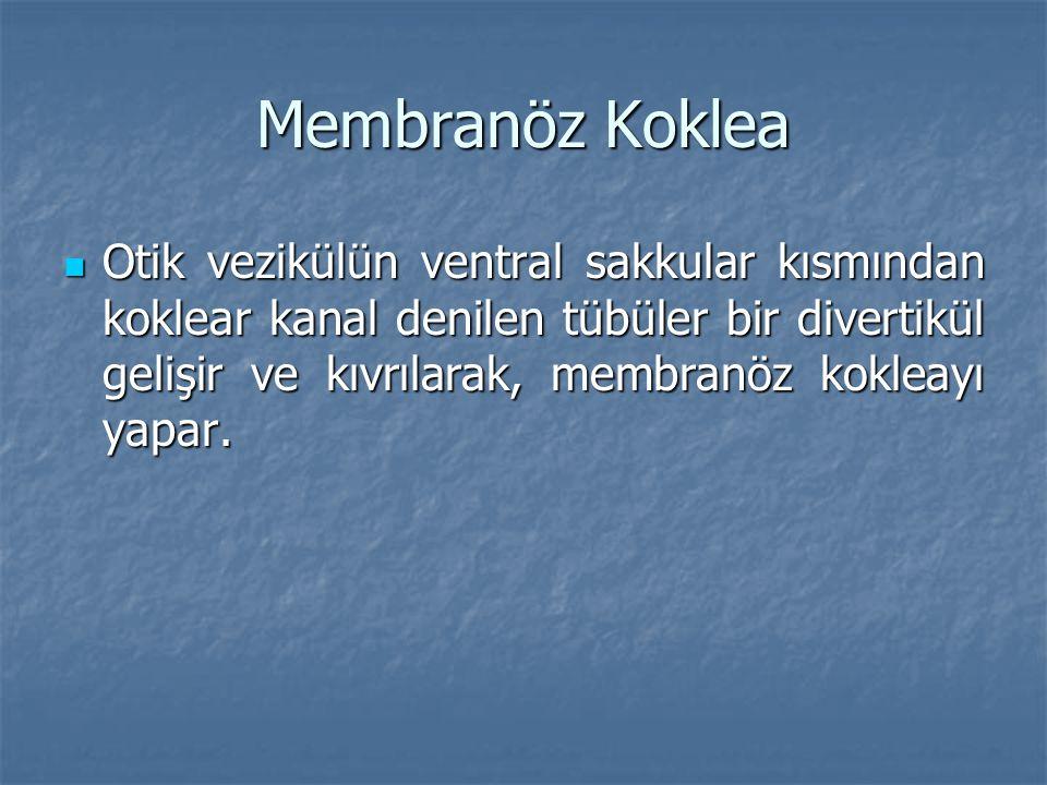 Membranöz Koklea