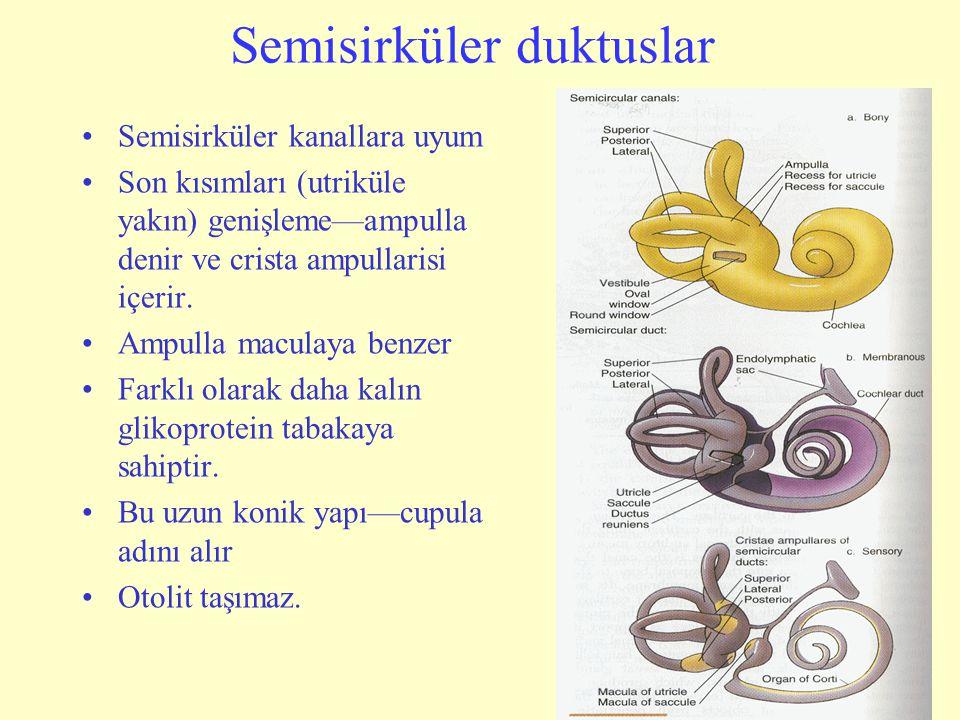 Semisirküler duktuslar