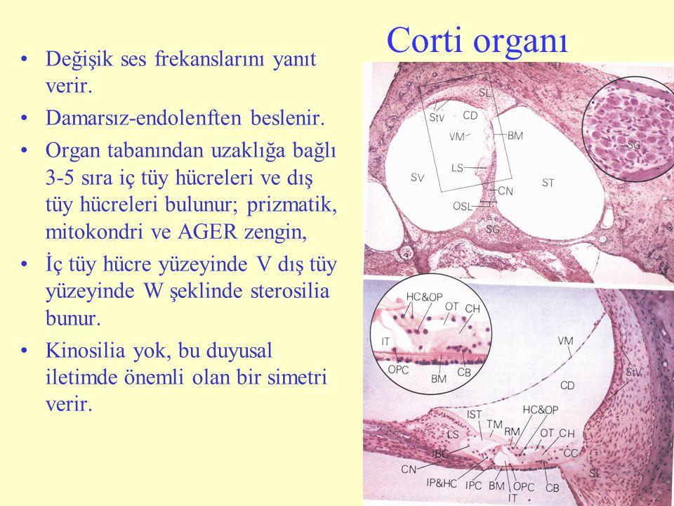 Corti organı Değişik ses frekanslarını yanıt verir.