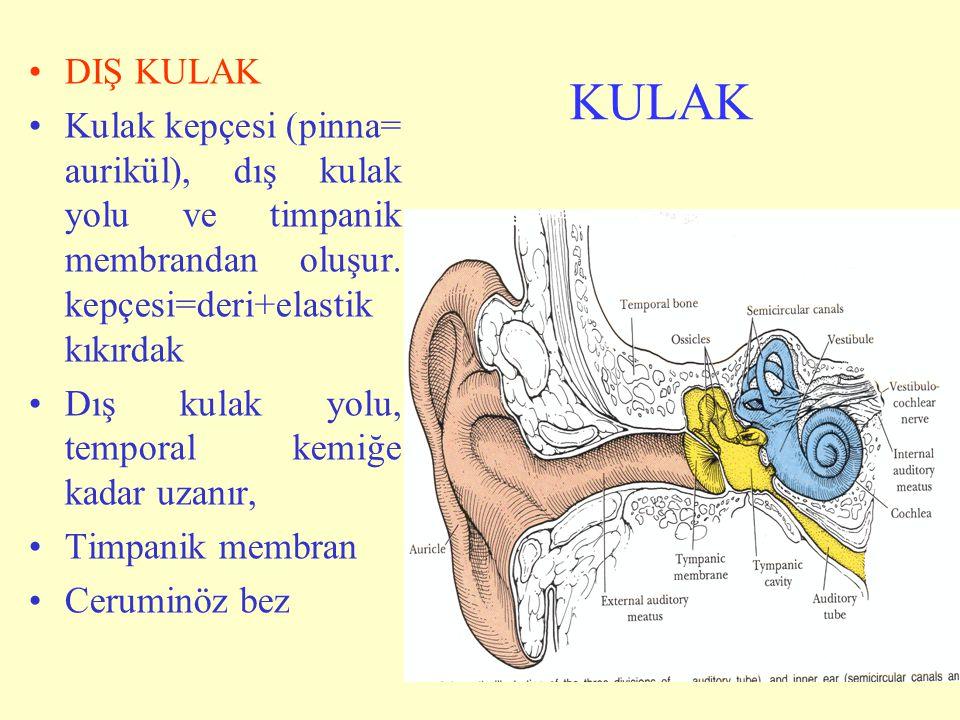 DIŞ KULAK Kulak kepçesi (pinna= aurikül), dış kulak yolu ve timpanik membrandan oluşur. kepçesi=deri+elastik kıkırdak.