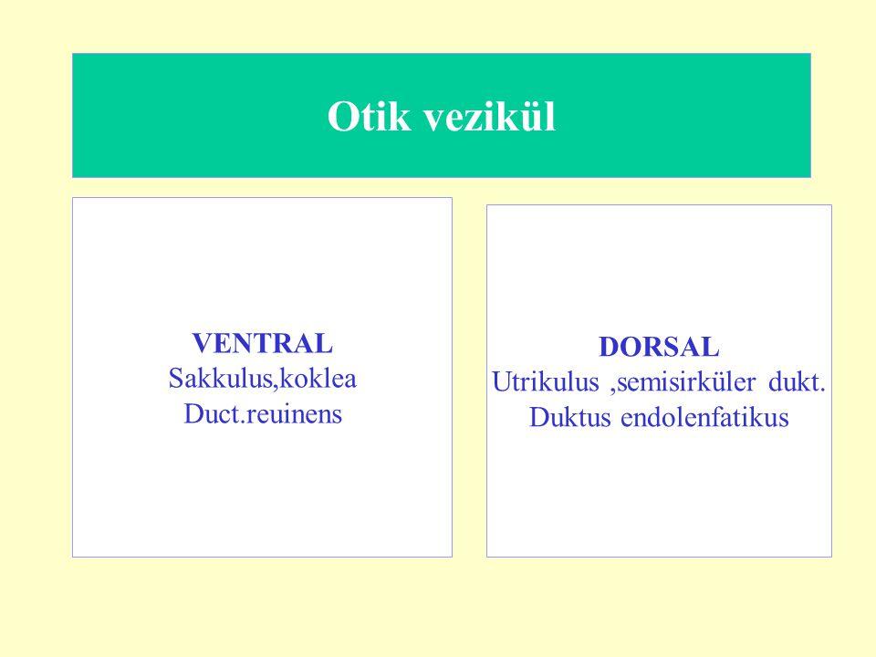 Otik vezikül VENTRAL DORSAL Sakkulus,koklea