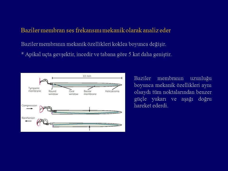 Baziler membran ses frekansını mekanik olarak analiz eder