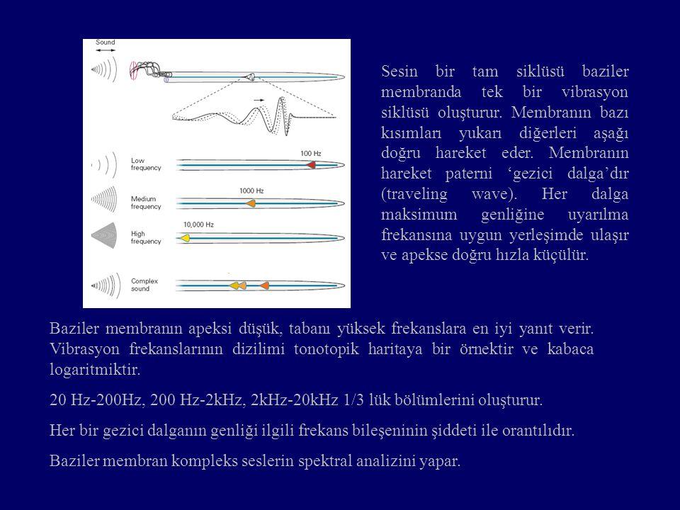 Sesin bir tam siklüsü baziler membranda tek bir vibrasyon siklüsü oluşturur. Membranın bazı kısımları yukarı diğerleri aşağı doğru hareket eder. Membranın hareket paterni 'gezici dalga'dır (traveling wave). Her dalga maksimum genliğine uyarılma frekansına uygun yerleşimde ulaşır ve apekse doğru hızla küçülür.