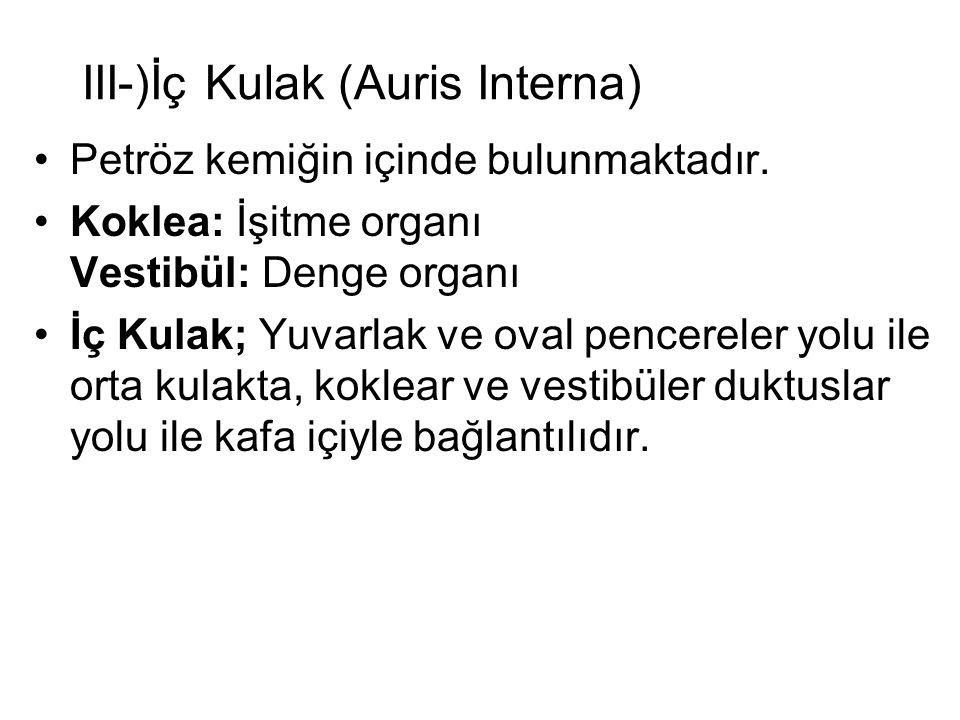 III-)İç Kulak (Auris Interna)