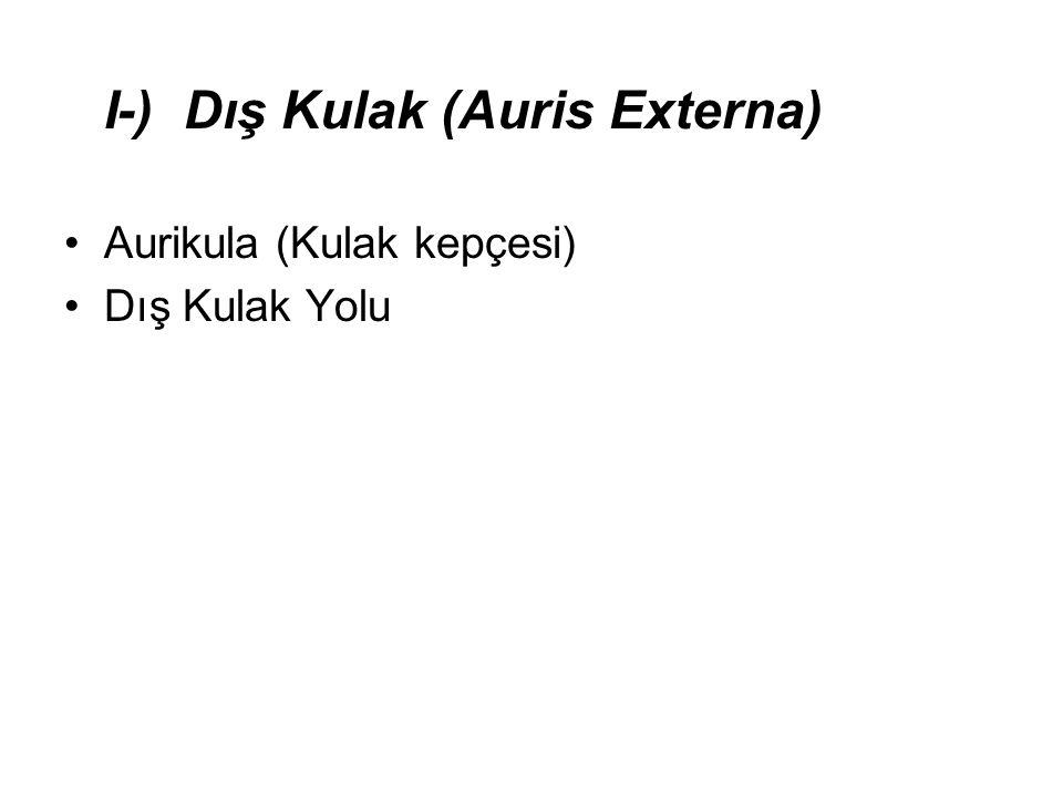 I-) Dış Kulak (Auris Externa)