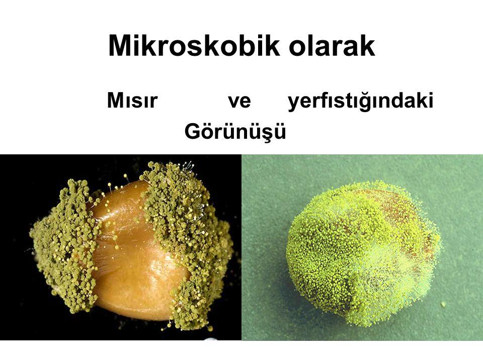 Mikroskobik olarak Mısır ve yerfıstığındaki Görünüşü