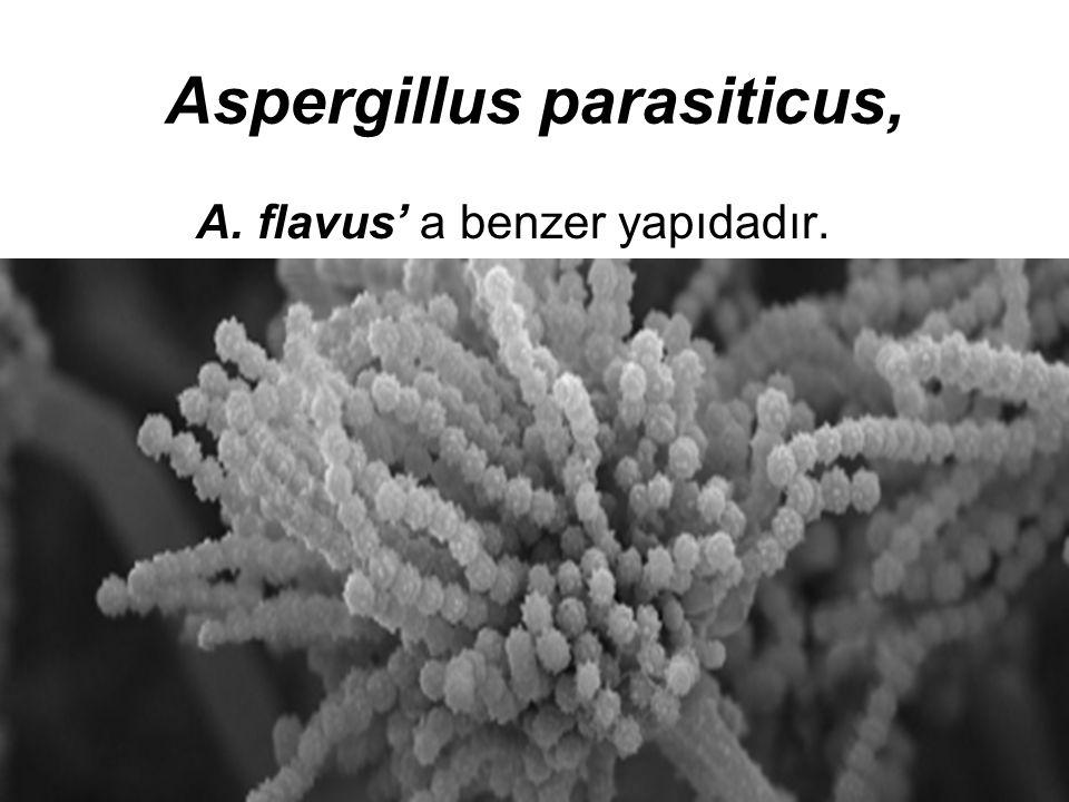 Aspergillus parasiticus,