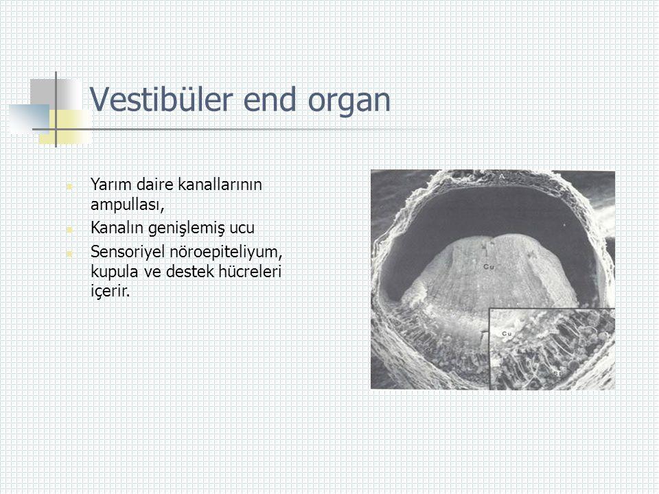Vestibüler end organ Yarım daire kanallarının ampullası,