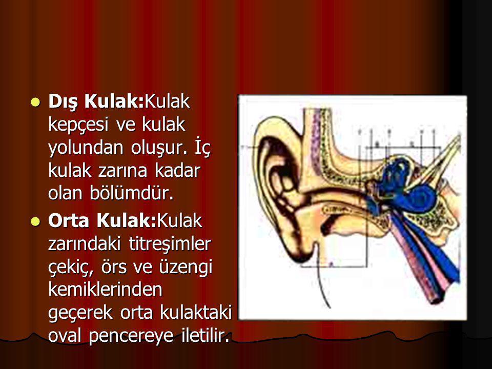 Dış Kulak:Kulak kepçesi ve kulak yolundan oluşur
