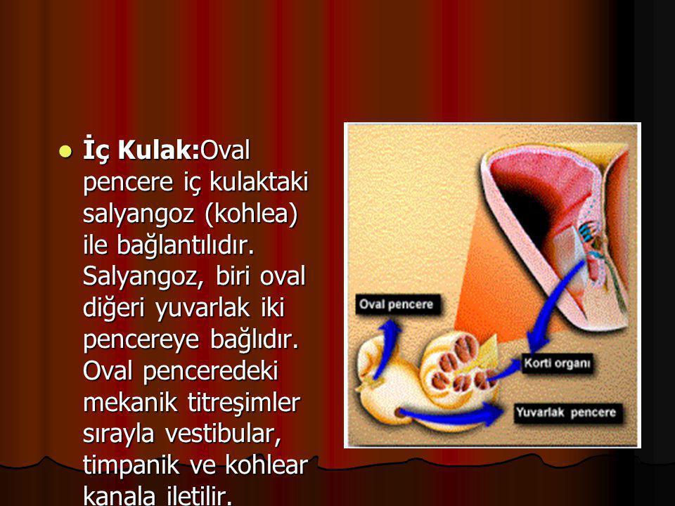 İç Kulak:Oval pencere iç kulaktaki salyangoz (kohlea) ile bağlantılıdır.