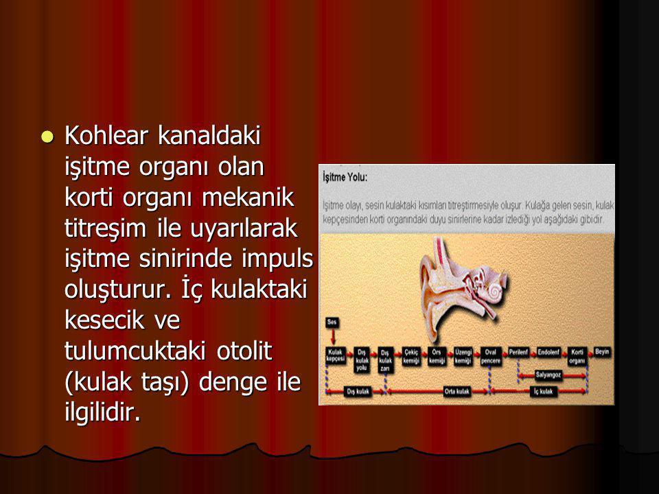 Kohlear kanaldaki işitme organı olan korti organı mekanik titreşim ile uyarılarak işitme sinirinde impuls oluşturur.