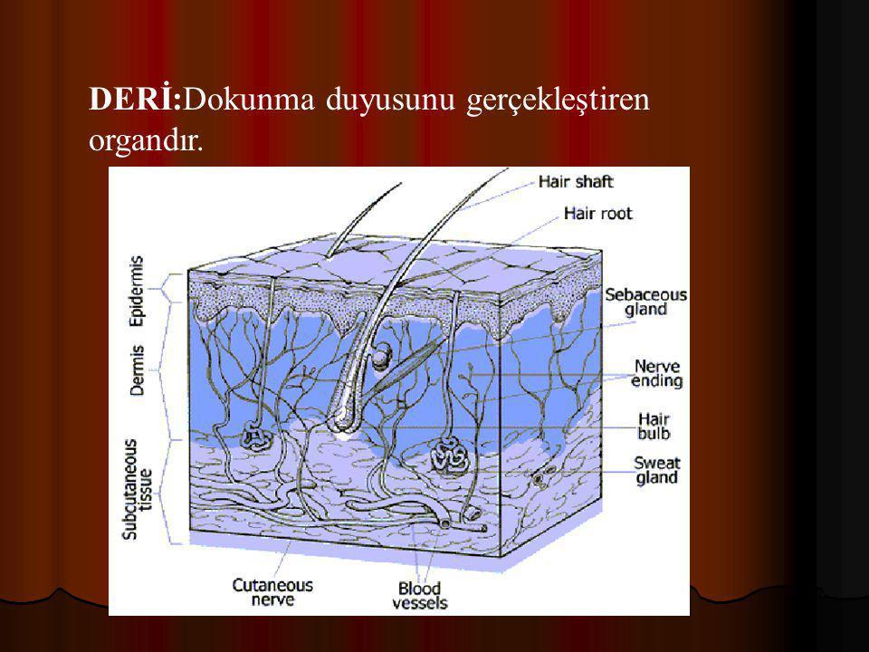 DERİ:Dokunma duyusunu gerçekleştiren organdır.