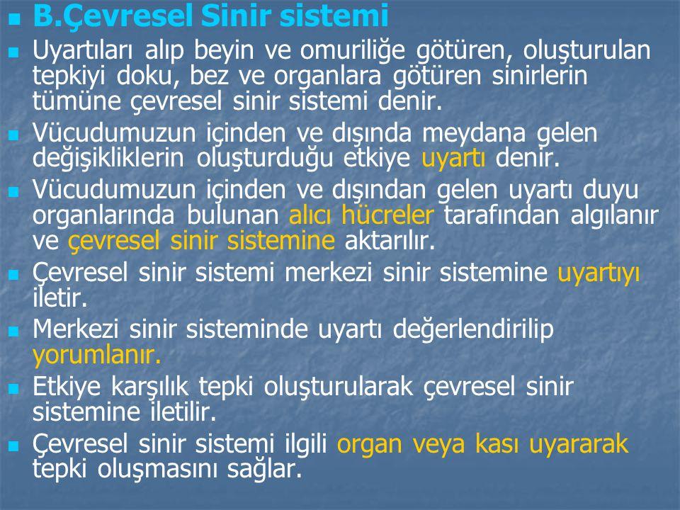 B.Çevresel Sinir sistemi