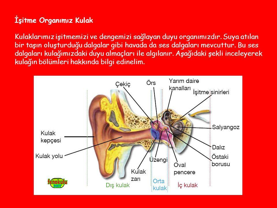 İşitme Organımız Kulak