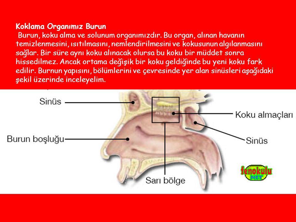 Koklama Organımız Burun Burun, koku alma ve solunum organımızdır