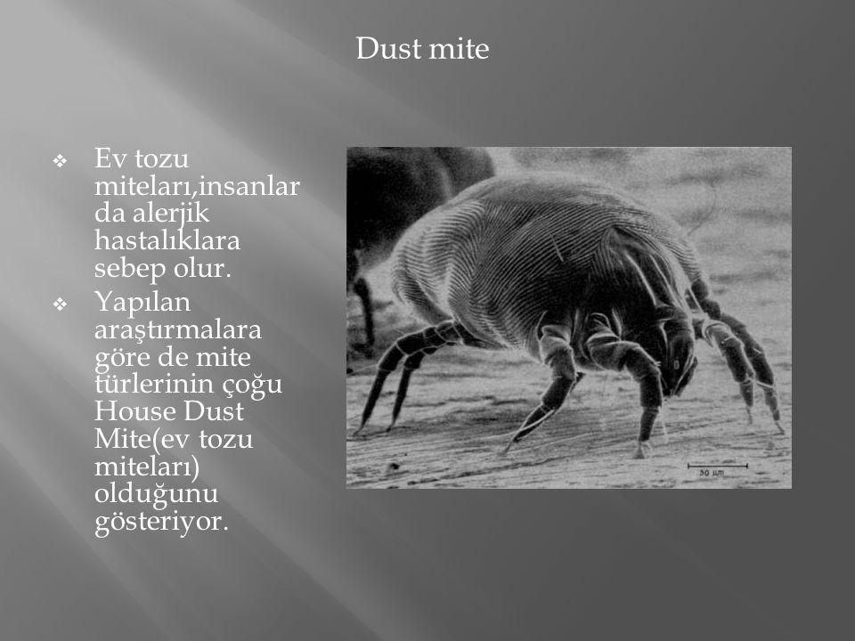 Dust mite Ev tozu miteları,insanlarda alerjik hastalıklara sebep olur.