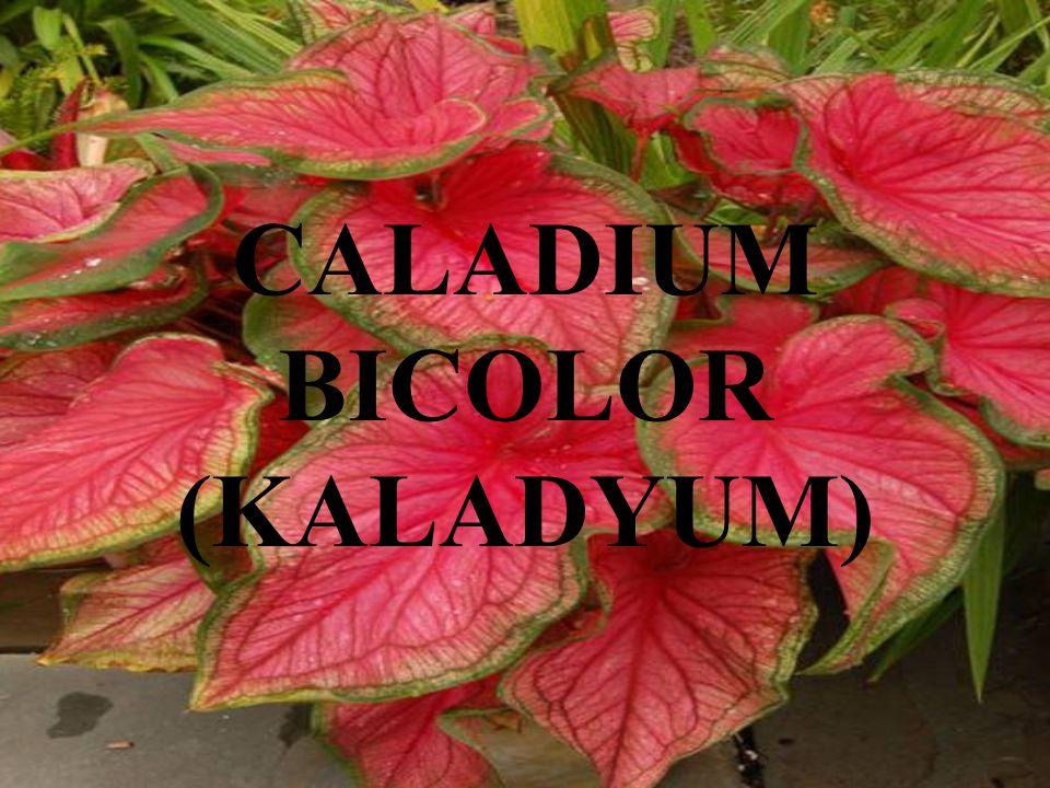 CALADIUM BICOLOR (KALADYUM)