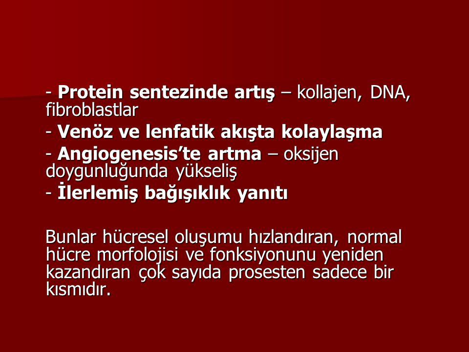 - Protein sentezinde artış – kollajen, DNA, fibroblastlar
