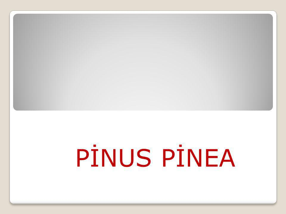 PİNUS PİNEA