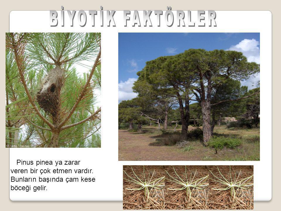 BİYOTİK FAKTÖRLER Pinus pinea ya zarar veren bir çok etmen vardır.