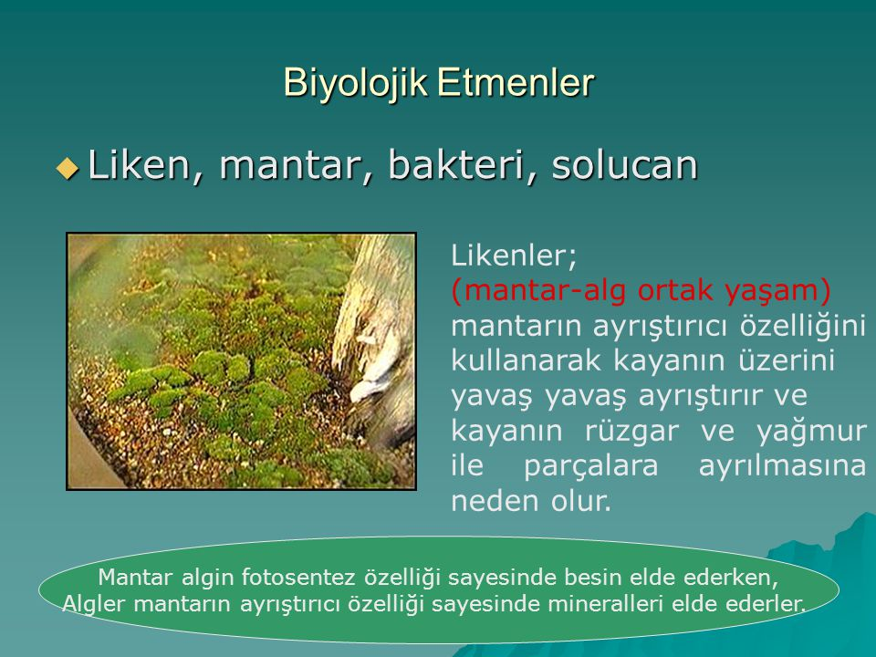 Mantar algin fotosentez özelliği sayesinde besin elde ederken,