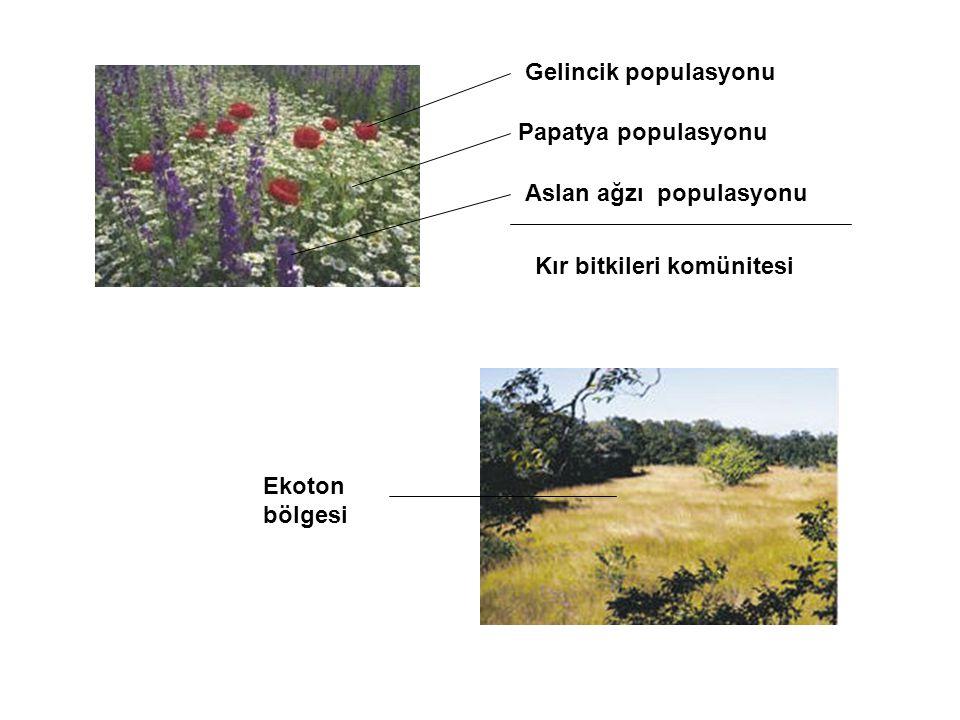 Gelincik populasyonu Papatya populasyonu. Aslan ağzı populasyonu. Kır bitkileri komünitesi. Ekoton.