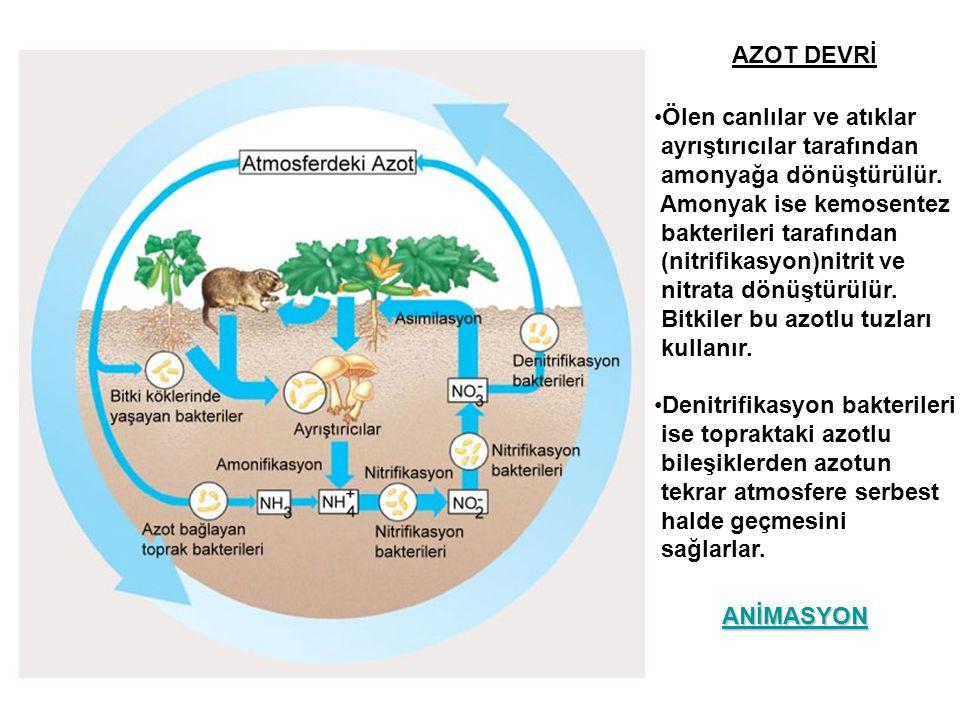 AZOT DEVRİ Ölen canlılar ve atıklar. ayrıştırıcılar tarafından. amonyağa dönüştürülür. Amonyak ise kemosentez.